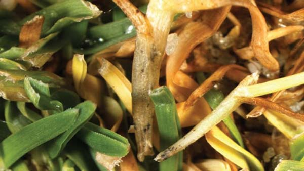 Rutgers guide provides tips for managing anthracnose