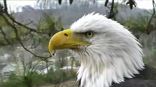 Improved eagle cam ready for another year at Harrison Bay