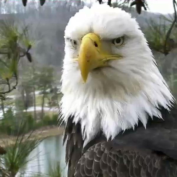 Eagles have been nesting above the golf course at Harrison Bay State Park since 2010.