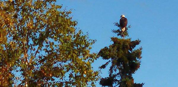 eagle_on_spruce.jpg